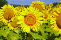 Sunflowers in France von 7horses