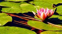 seerose 1 - water lily 1 von mateart