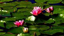 seerosen 2 - water lilies 2 by mateart