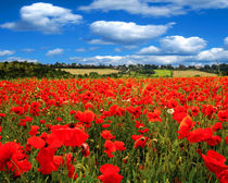 Poppy Field von James Biggadike