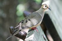 Mourning Dove on park bench  by Dale Bargmann