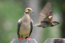 Mourning Dove with Flying Sparrow Behind by Dale Bargmann