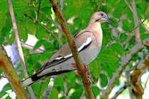 2white-winged-dove-9272