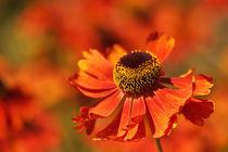 Sommerblume  von Barbelotta  1