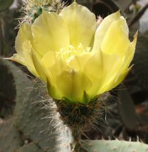 Sunlit Cactus Flower by Malcolm Snook