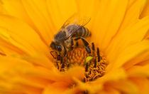 Biene von Thomas Jäger