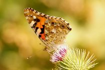 painted lady 3 - Distelfalter 3 by mateart