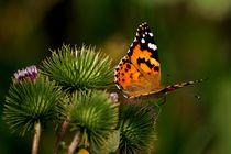 painted lady 2 - Distelfalter 2  by mateart