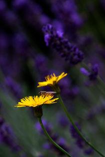 Gelb-im-lavendel
