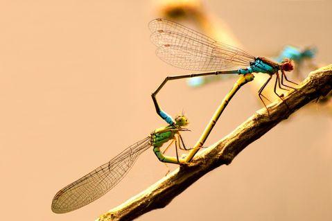 Dragonflylove
