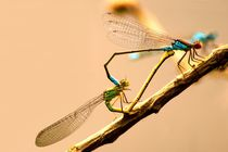 Wenn Libellen lieben bilden Ihre Körper ein Herz - If dragonflies make love there bodies built a heart by mateart