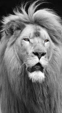 Der Blick des Löwen von buellom