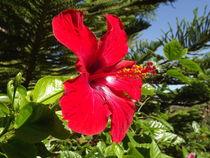 Beautiful morning hibiscus.. by Henrietta Benjamin