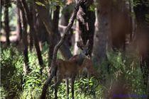 Deer5b