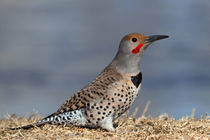 Northern Flicker in Breeding Plumage by Kathleen Bishop