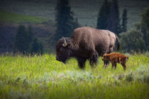 American Buffalo Mother and Child by Randall Nyhof