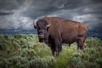 American Buffalo or Bison in Yellowstone National Park von Randall Nyhof