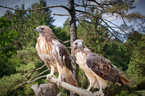 Pair of Red-tail Hawks in West Michigan Woodland by Randall Nyhof