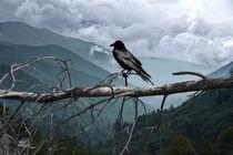 Bird-raven-sentinal-1233