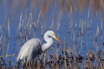 Great Egret Fishing by Kathleen Bishop