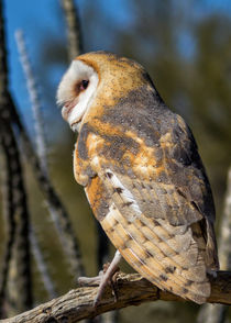 Barn owl in the Sonoran Desert von Kathleen Bishop