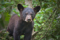 Black Bear Cub in Northern Minnesota Photograph by Randall Nyhof