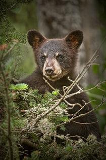 Black Bear Cub peeking over Pine Branches von Randall Nyhof