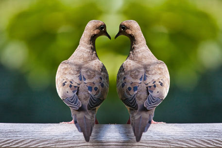 Bird-dove-birds-0100