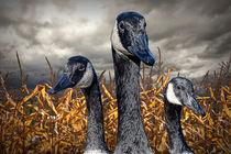 Bird-geese-canada-cornfield-0157-3
