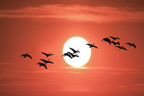 Geese flying against the Sun von Randall Nyhof