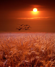 Gulls flying over a Wheat Field at Sunset by Randall Nyhof