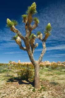 Lone Joshua Tree von Randall Nyhof