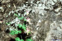Blooms on a Rockface von Dan Richards