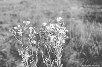Shastas in Black & White von Dan Richards