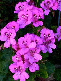 Wild Magenta Geraniums von Christine Chase Cooper