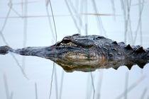 Alligator in the Everglades von Randall Nyhof