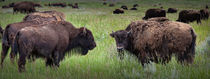 Herd of American Buffalo in Yellowstone von Randall Nyhof
