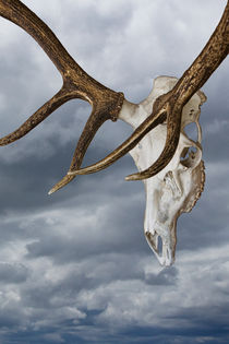 Elk Skull with Rack against a Cloudy Sky von Randall Nyhof