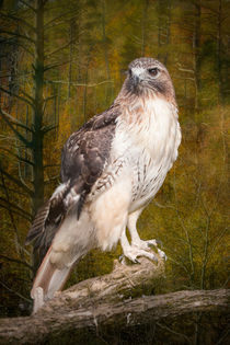 Red Tailed Hawk perched on a branch in the woodlands by Randall Nyhof