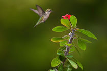 Ruby Throated Hummingbird von Randall Nyhof