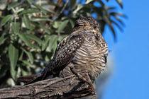 Nighthawk Roosting in the Virgin Valley by Kathleen Bishop