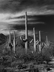 Black & White Photograph of Cactus in Saguaro National Park by Randall Nyhof