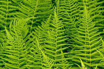 Nat-ferns-0960-2