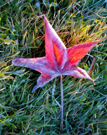 Fallen autumn red leaf in the grass during morning frost by Randall Nyhof