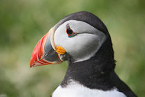 [impressions of scotland] - puffin portrait by meleah