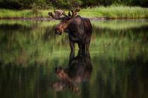 Reflecting Bull von Mark Kiver