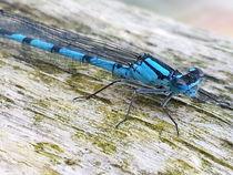 Blaue Libelle by Shiva B.