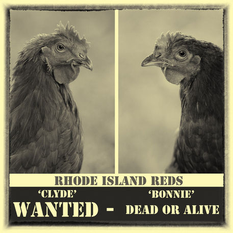 Rhode-island-reds-wanted-poster