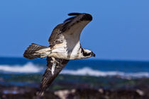 Osprey Fishing by Kathleen Bishop