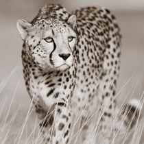 Creeping Cheetah von Regina Müller